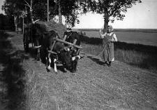Kobieta prowadząca krowy w jarzmie