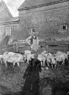 Pan Gliefe (dziadek Elfriedy Grudzień) na wybiegu dla świń
