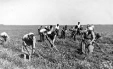Wyplewianie ostu i rumianku na polu ziemniaczanym