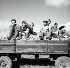 Transport ziemniaków w gospodarstwie Henryka Cekały