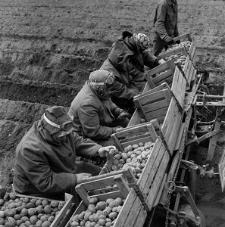 Sadzenie ziemniaków w SHR w Jezierzycach