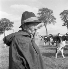 Pastuch Stanisław Żelazny przy wypasie bydła w PGR-ze