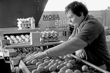 Sortowanie jaj w Gospodarstwie Rolnym Roberta Adkonisa