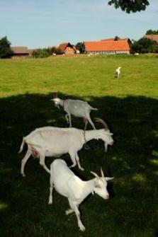 Pasące się kozy, w tle budynki gospodarcze i mieszkalne w Swołowie